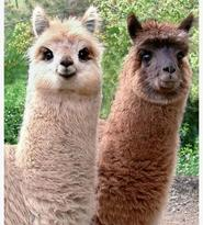 Alpacas - what's not to love?